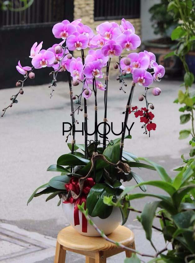 HOA-LAN-PHU-QUY-chau-lan-ho-diep-hong-5-canh-01 copy
